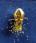 Happy Birthday. 2013. Cicada exuvia, gold paint, glitter, jewelry box. 3 x 3 x 4 in (with box).